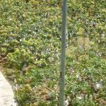 Beaucoup de fruits sont emballés individuellement dans l'arbre pour leur protection