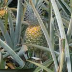 ananas prêt à être récolté