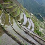 Culture de riz en terrasse.