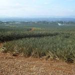 plantations d'ananas