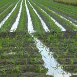 Maïs cultivé dans les rizières