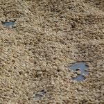 sechage du cafe sur des baches pres de Matagalpa