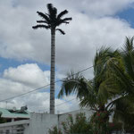 Ceci est une antenne déguisée en palmier artificiel. Il y en a partout sur l'ile Maurice. A quand nos pylônes électriques ?