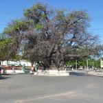 Le plus gros baobab de Madagascar - 21 m de circonférence