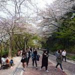 Balade sous les cerisiers en fleurs