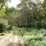 Plantation de café sous couvert pres de Matagalpa