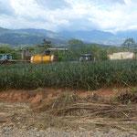 Approvisionnement de l'appareil de traitement dans les champs d'ananas