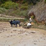 Le travail dans les rizières avec les zébus