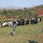 L'arrivée des zébus en troupeaux par les pistes