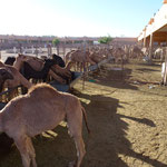 Marché aux chameaux