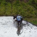 Les buffles ne sont utilisés que dans la plaine. Les cultures en terrasse sont réalisées uniquement à la main de l'homme.