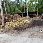 Récolte de la noix de coco