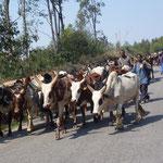 Des troupeaux de zébus en déplacement sur la route