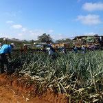 cueillette des ananas