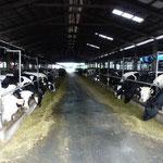 Vue d'une petite partie de l'élevage de 1500 vaches laitières