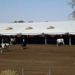 Vue très partielle de l'élevage de 15000 vaches laitières