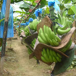 Transport des régimes de la bananeraie au conditionnement