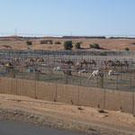 Un élevage de chameaux
