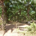 Beaucoup de plantations de palmier á huile au Honduras