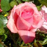 Roseblüte im Garten