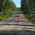 Rentiere in ihrer natürlichen Umgebung - der Straße (952)