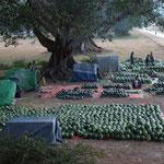 MMR - Melonenverkauf in Pindaya
