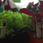 Bataviasalat und rote Gartenmelde