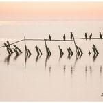 Cormorans étang du Vaccarès