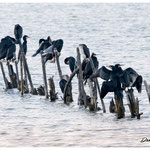 Cormorans (Vaccarès)