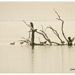 Héron cendré et cormorans (Vaccarès)