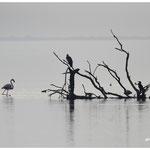 Flamant et cormorans