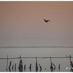Vol d'un cormoran