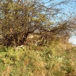 Der heutige Zustand der Reste der Aholzwarte im Gebüsch