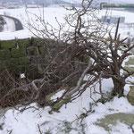 Die Mauerkrone im Januar 2011 mit Bewuchs