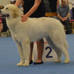 Echo de'Chien Conrad . excellent 2nd in junior class (10 junior males) photo Tapani Koivusalo