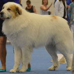 Echo de'Chien Avangard King - excellent in champion class. Photo: Tapani Koivusalo
