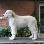 Echo de'Chien Cruise - available (male)