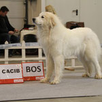 Echo de'Chien Bewitched - Belarus & Lithuanian Champion, Lithuanian Winner 2013, 3xCACIB