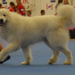 Echo de'Chien Benjamin - Open class winner with CAC = FI Ch photo: Tapani Koivusalo