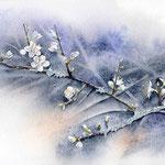Fleurs de prunelier