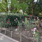 平塚市総合公園 ふれあい動物園入口脇バラ花壇 2018年11月9日