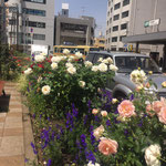 平塚駅南口噴水広場北側花壇 2020年5月13日(写真提供;平塚 花のまちづくりの会)