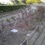 平塚市総合公園 北側 バラ花壇(球場北)2018年3月24日