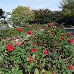 平塚市総合公園 北バラ花壇(球場北)2018年10月26日