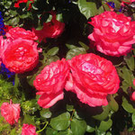 平塚駅南口噴水広場西側花壇 2020年5月13日(写真提供;平塚 花のまちづくりの会)