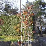 平塚市総合公園 南側 バラ園(野外ステージ東)2018年3月24日