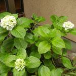 5月31日 前日の雨で花が開き始めてます。