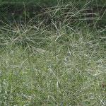 すずしげな秋の草。やっと秋です。