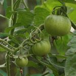 別品種のプチトマト。塩をかけてガブリ!これ、最高です。