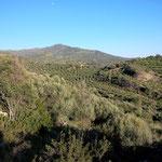 Olivenbäume in der Region Kartalos